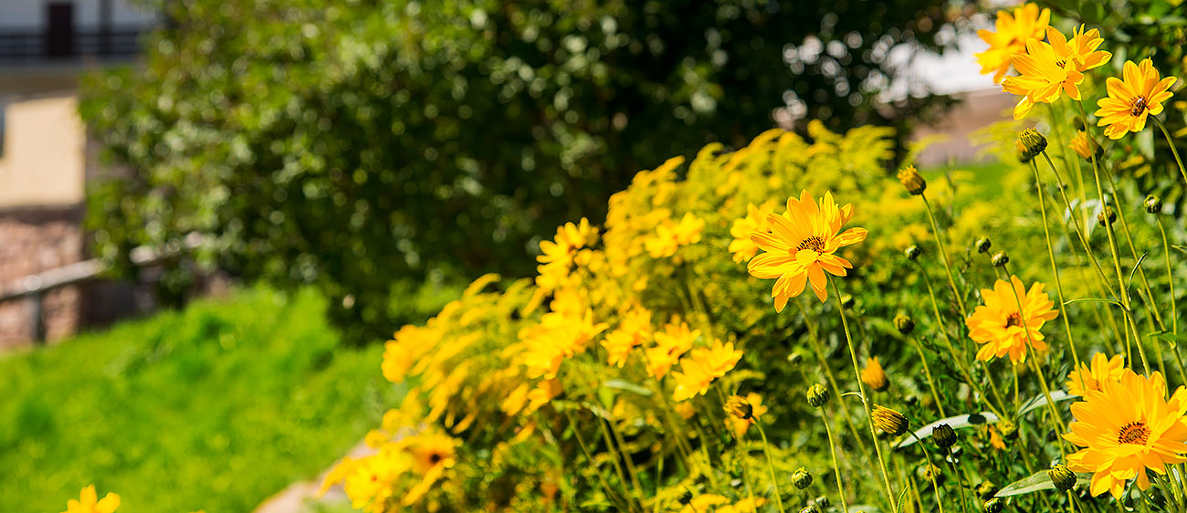 Yellow flowers in the foreground and a green bush on background